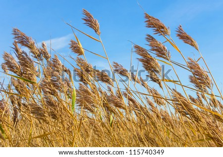 Reed in bright weather, the wind. - stock photo
