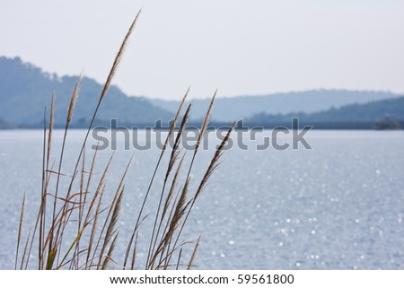 reed in front of the lake