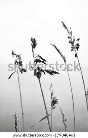 Reed in harmony black and white - stock photo