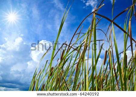 Reed in pond and sunrise - stock photo