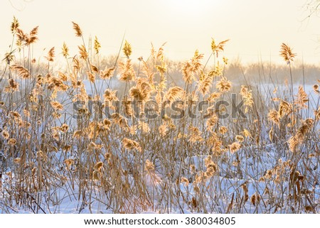 Reed in snow against the sunset. Horizontal view with reed against winter sunset and snow. - stock photo