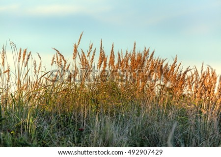 Reed in sunset light