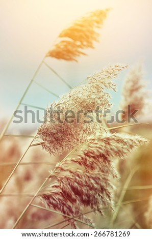 Reed in the quiet evening on a sunset. Retro style. - stock photo