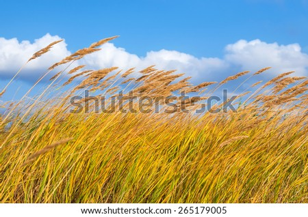 Reed in the strong wind. - stock photo