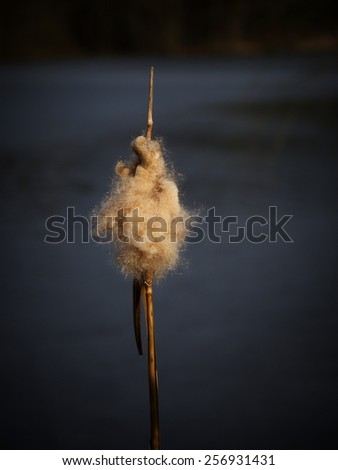reed in winter close up - stock photo