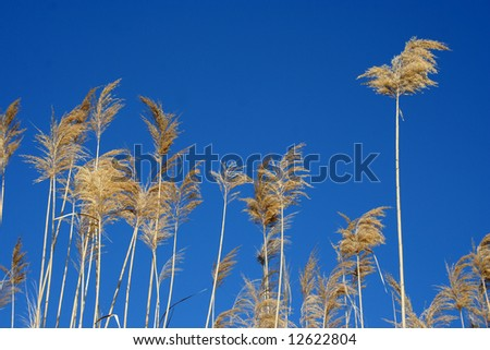 Reed on blue - stock photo