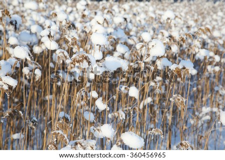 reed on snow background, winter landscape. Frozen lake - stock photo