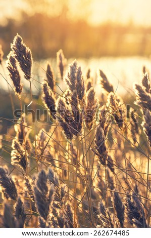 Reed on the bank of the lake early in the morning - stock photo