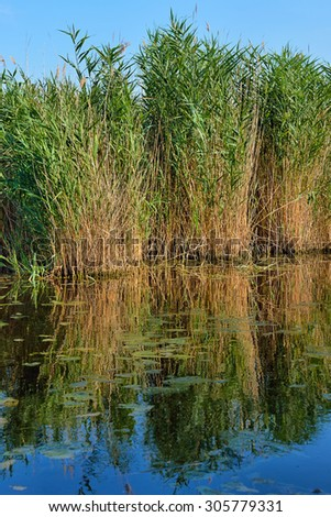"""Reed (Phragmites australis) with reflection at """"Neusiedlersee"""" in Austria - stock photo"""