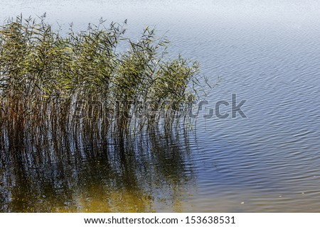 Reed plants at the shore of Czos lake in Mragowo in Poland - stock photo