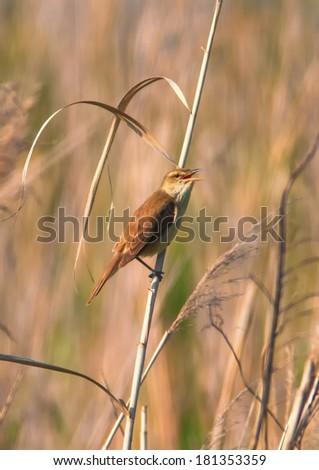 Reed warbler, Acrocephalus scirpaceus, singing on reed - stock photo