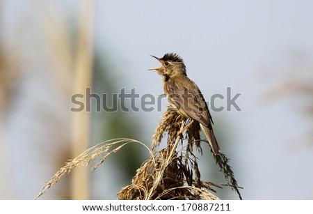 Reed warbler, Acrocephalus scirpaceus, single bird on reed singing, Bulgaria, May 2013 - stock photo