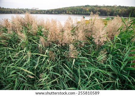 Reeds and forest at the lakeshore as a whole background - stock photo
