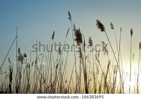 reeds at sunset silhouette - stock photo