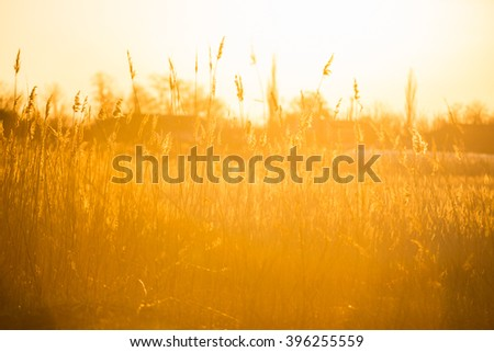 reeds, cane, sunset, wind, background - stock photo
