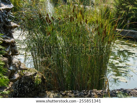 reeds in a small pond - stock photo