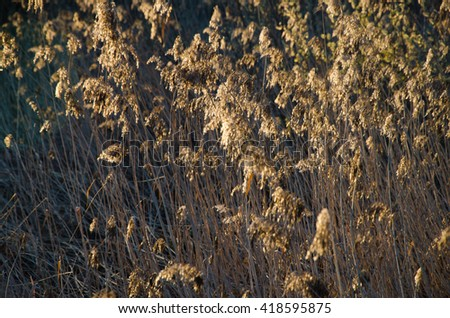 reeds in early spring at dawn  - stock photo
