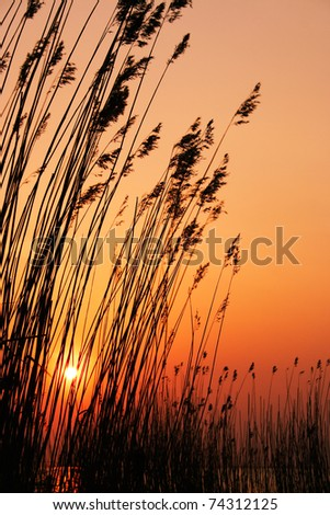Reeds in the sun - stock photo