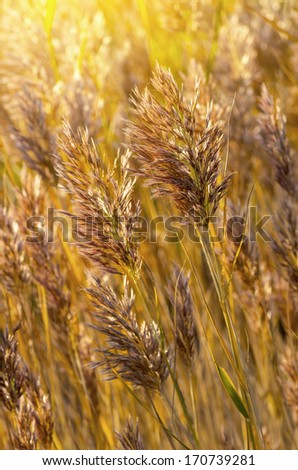 Reeds in the sunlight - stock photo