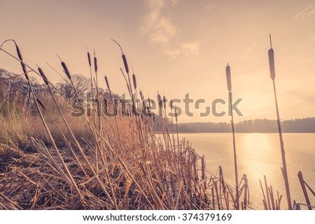 Reeds in the sunset in a frozen river - stock photo