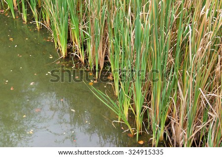 Reeds in the water  - stock photo