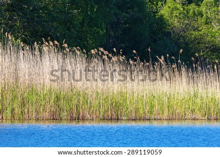 Reeds in the water edge at the lake in summer - stock photo