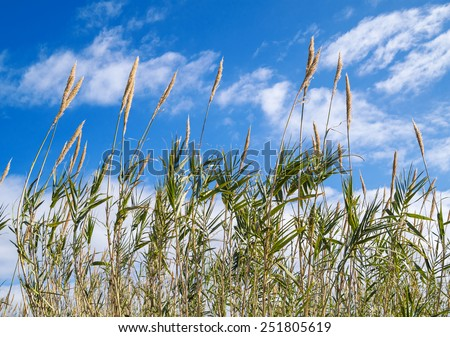 Reeds in the wind under blue cloudy sky - stock photo