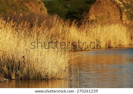 Reeds on the bank of a calm lake - stock photo