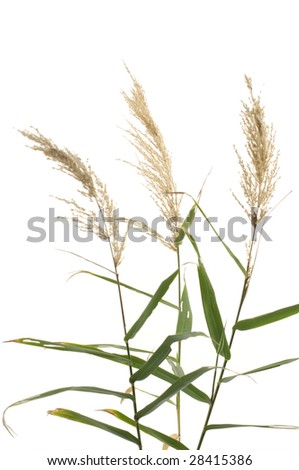Reeds on white background - stock photo