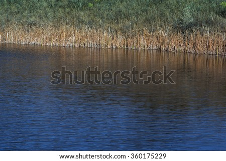Reeds reflecting in a pond