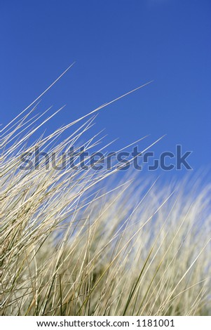 Reeds with perfect blue sky - Fantastic shallow Depth of field - stock photo