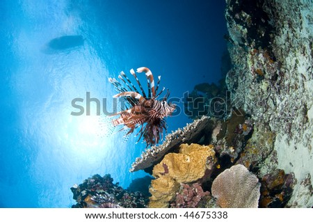 Reef and lion fish, Indonesia, Lembeh, Asia
