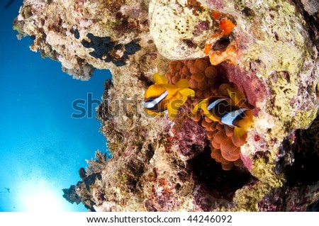 Reef, clown fish and anemone, red Sea, south Sinai, Egypt