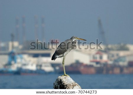 Reef Egret over Industrial Background/Reef Egret in Khor Khalid bay, Sharjah, UAE - stock photo