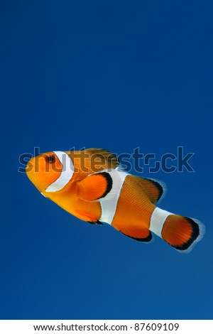 reef fish, clown fish on blue background - stock photo