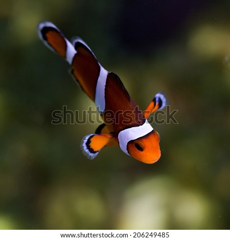 reef fish , clown fish or anemone fish - stock photo