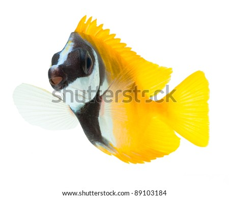 reef fish, foxface tabbitfish, isolated on white background - stock photo