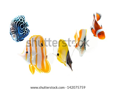 reef fish, marine fish isolated on white background - stock photo