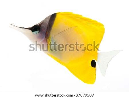 reef fish, marine fish, yellow longnose butterflyfish isolated on white background - stock photo