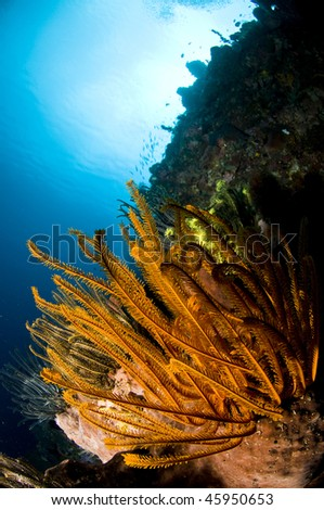 Reef, Indonesia, Lembeh, Asia
