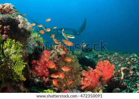 Reef Manta approaches cleaning station with coral and fish. Komodo National Park, Indonesia
