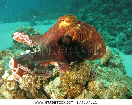 Reef Octopus (Octopus cyaneus) posing for camera and playing around the corals. Red Sea, Marsa Alam.