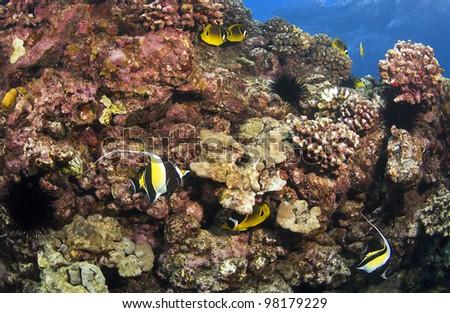 Reef Scene in Kona Hawaii with Morish Idol and Butterfly Fish - stock photo