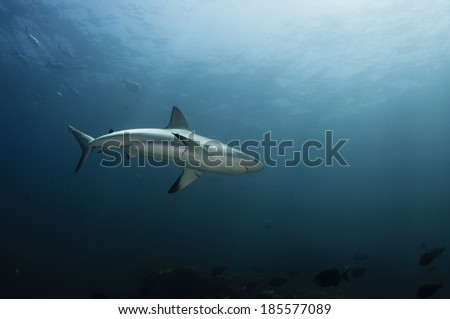 Reef Shark - stock photo