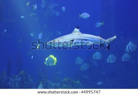 Reef shark - stock photo