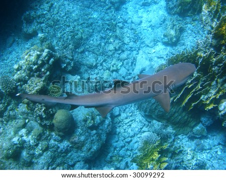 Reef shark and coral reef - stock photo