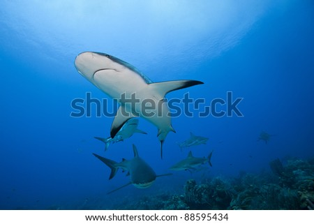 Reef Shark (Carcharhinus perezii) school hunting over a tropical coral reef off the island of Roatan, Honduras. - stock photo