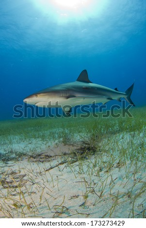 Reef Shark in Shallow Water - stock photo