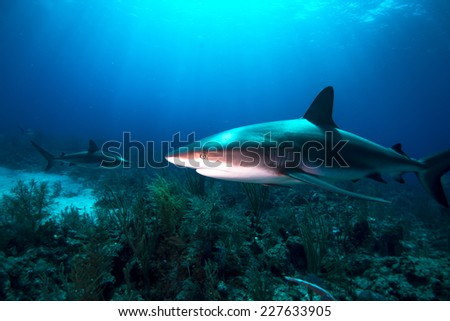 Reef sharks swimming over the reef - stock photo