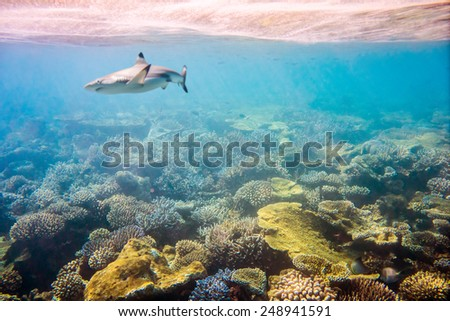 Reef with a variety of hard and soft corals and shark in the background. Focus on corals, sharks are not in focus. Maldives Indian Ocean coral reef. - stock photo